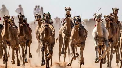 Camel racing storms back in Sinai after virus hiatus