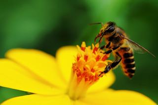 Pszczoły i zapylacze zagrożone na całym świecie. To problem dla producentów żywności