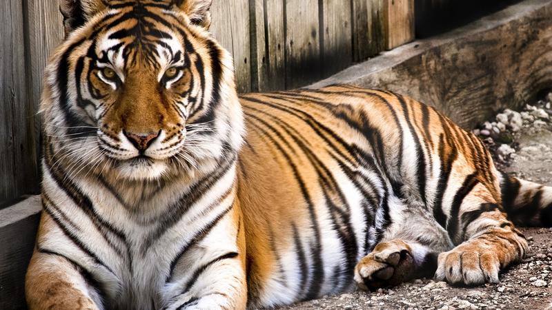 Włożyli dziecko na wybieg tygrysów w Poznaniu