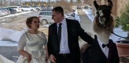 Przyszedł na ślub siostry z... lamą! To zdjęcie robi furorę