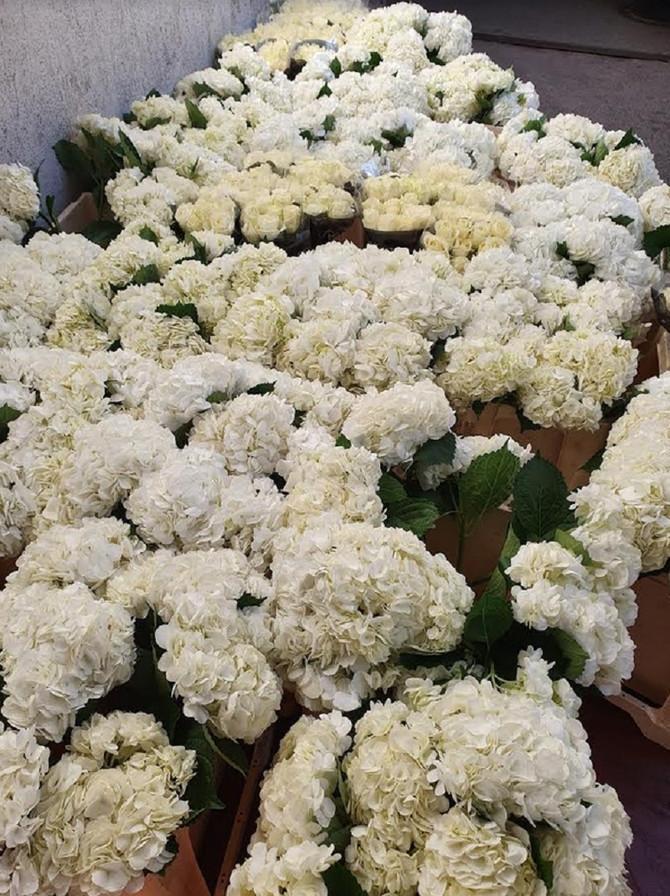 Prediven bele ruže avalanš iz Holandije