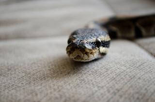 Kakadu, waran i wąż boa w domu. Jakie są prawne obowiązki posiadacza?
