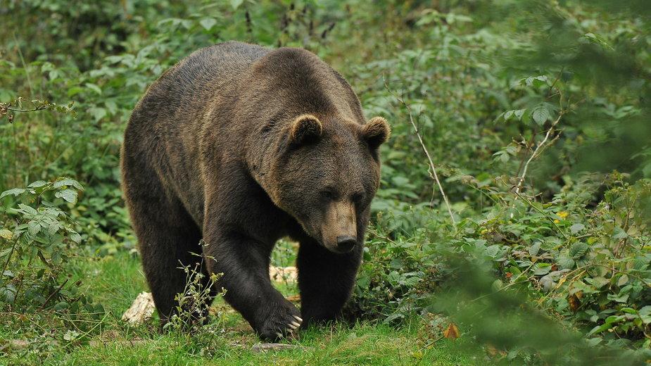 Niedźwiedzie pojawiają się w okolicach osiedli pod Tatrami