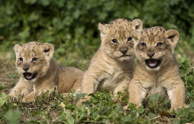 Aleksandar će ostati u kavezu sa lavovima do rođenja mladunaca