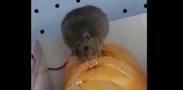 Szczur grasował po półkach sklepu popularnej sieci!
