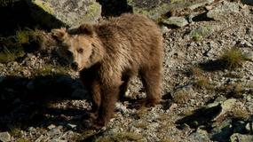 """""""Do spotkań z niedźwiedziami dochodzi każdego lata"""" - wywiad z Filipem Ziębą, naukowcem i przyrodnikiem TPN"""
