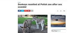 Washington Post o osłach z Poznania