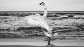Wojna o bułkę. Łabędzie w Gdyni przeganiały spacerowiczów