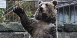 Zrobią pierwsze w Polsce pogotowie dla niedźwiedzi