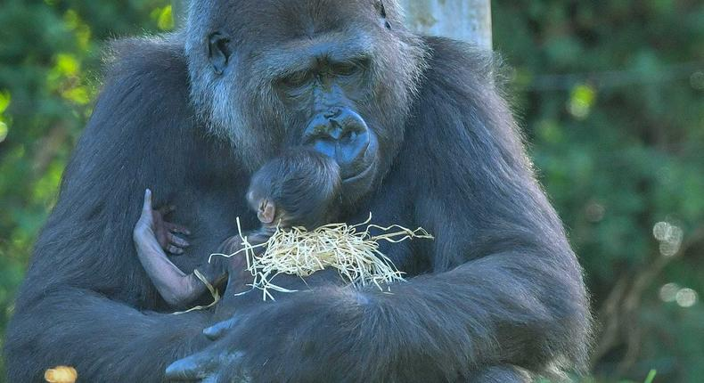 A gorilla with her living newborn baby on August 20 in Bristol Zoo.