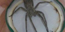Klient znalazł jadowitego pająka w...