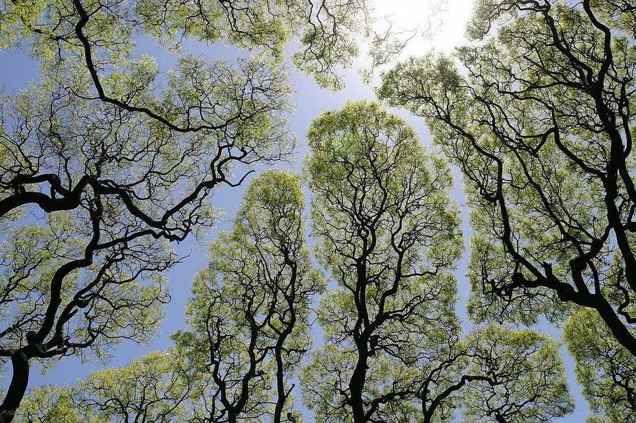 Drzewa w tajemniczy sposób unikają dotykania się nawzajem. To tzw. nieśmiałość koron