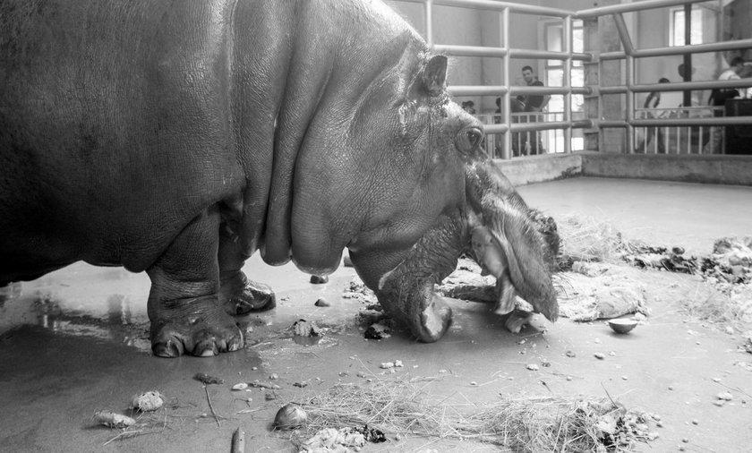 Hipolit był najprawdopodobniej najstarszym hipopotanem na świecie
