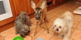 Sarenka wychowuje się z psami jak z braćmi