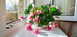 Masz tę roślinę w domu? Jest trująca i niebezpieczna!