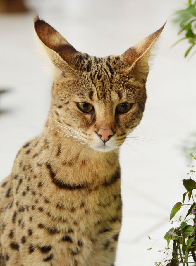 Najskuplja mačka na svetu savana
