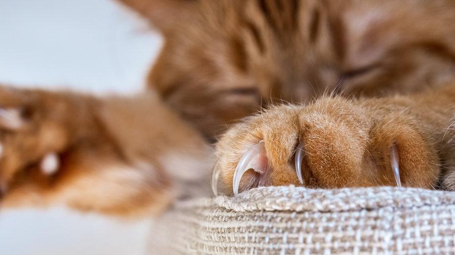 Choroba kociego pazura wywołana jest przez bakterie - Sundry Photography/stock.adobe.com