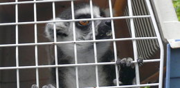 Wielka przeprowadzka lemurów