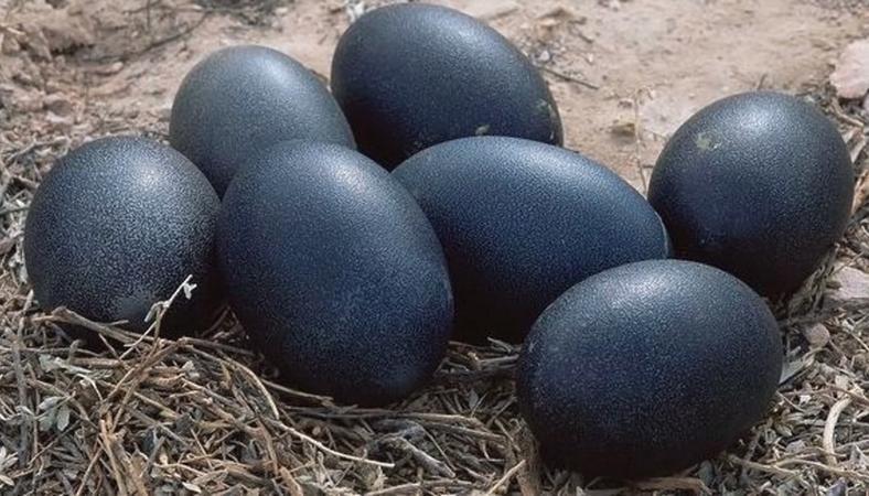 fekete szex csirke