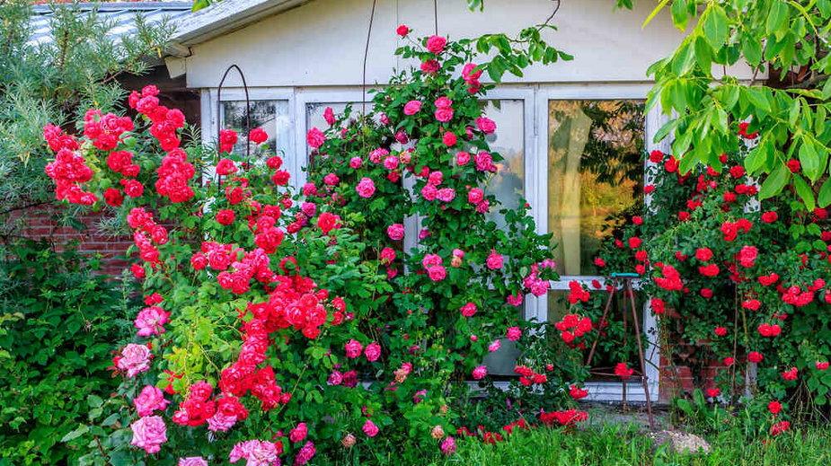 Róże to rośliny numer jeden w ogrodzie zapachów. Warto tylko wybrać odmiany o wyrazistym zapachu