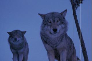 """Czy można zaufać wilkom? """"Dobry wilk. Tragedia w szwedzkim zoo"""" Larsa Berge [RECENZJA]"""