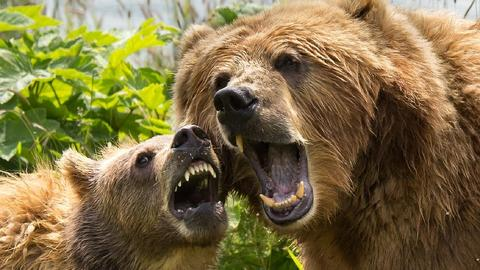 kodiak-brown-bears-1537323_960_720