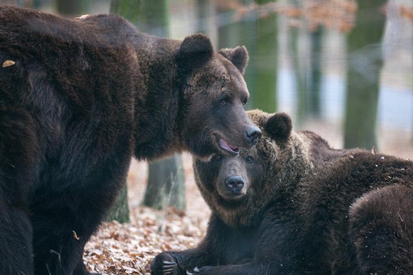 Niedźwiedzie Misza i Wania