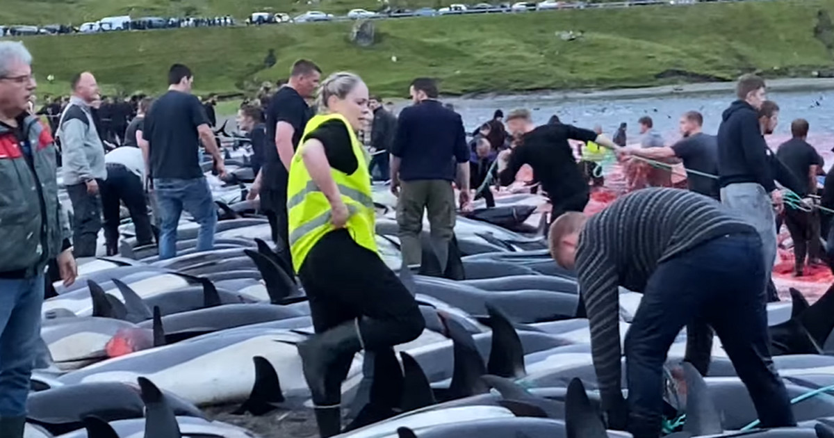 Największa masakra w historii Wysp Owczych. Mieszkańcy ...