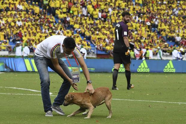 Pies na boisku w trakcie spotkania Brazylia - Kolumbia