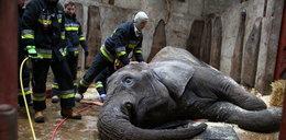 Słoń w opałach! Położył się i... nie mógł wstać