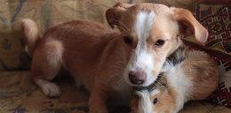 Szok! Pies Klemensik okazał się świnką morską
