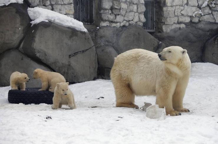 Polarnim medvedima preti izumiranje