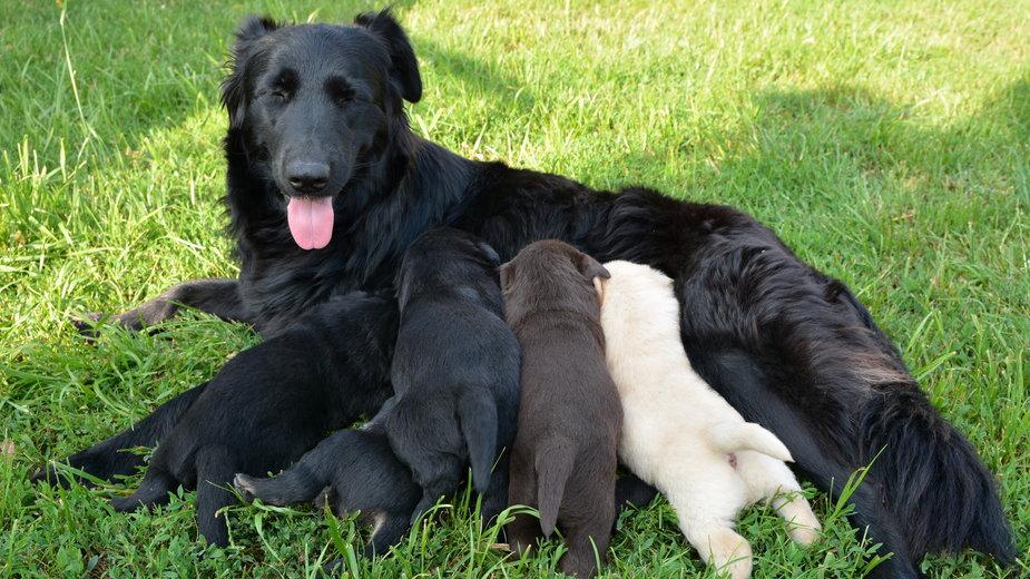 Każdy właściciel psa rasowego może wyrobić mu rodowód - robert6666/stock.adobe.com