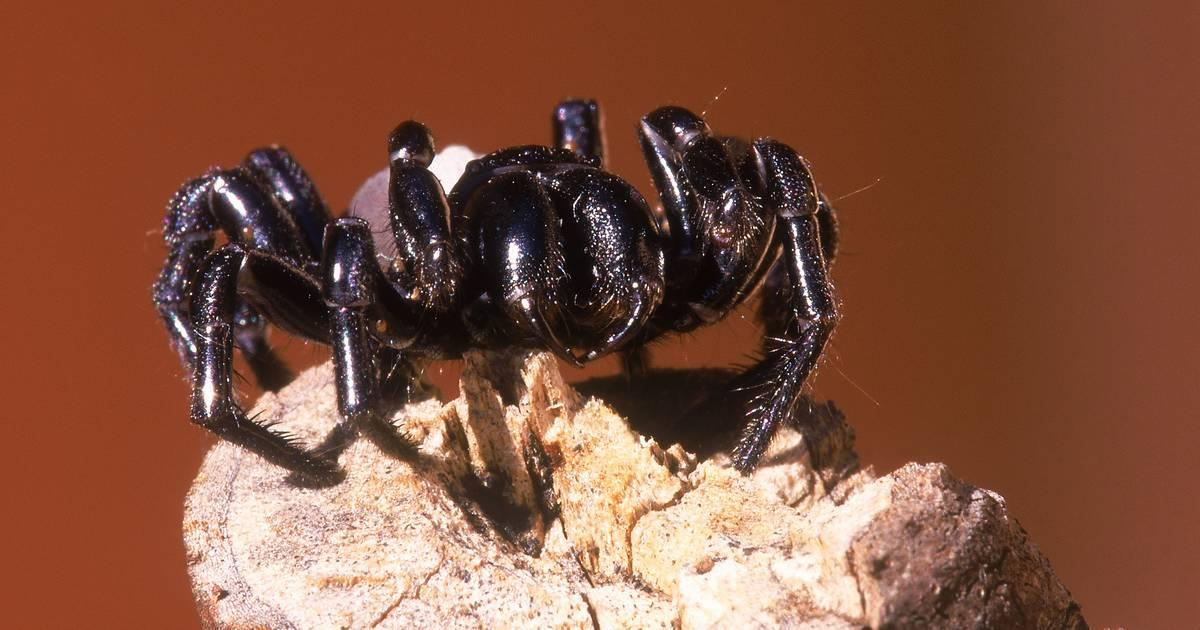 Tödliches Gift: Warum sind bei dieser Spinne die Männchen gefährlicher als die Weibchen?
