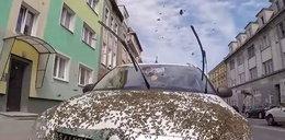 Rój pszczół obsiadł auto w centrum Szczecina!