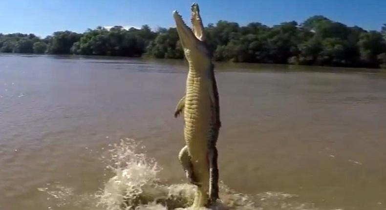 Terrifying footage shows a crocodile standing vertically on his tail as he lunges for a hunk of meat being dangled above it.