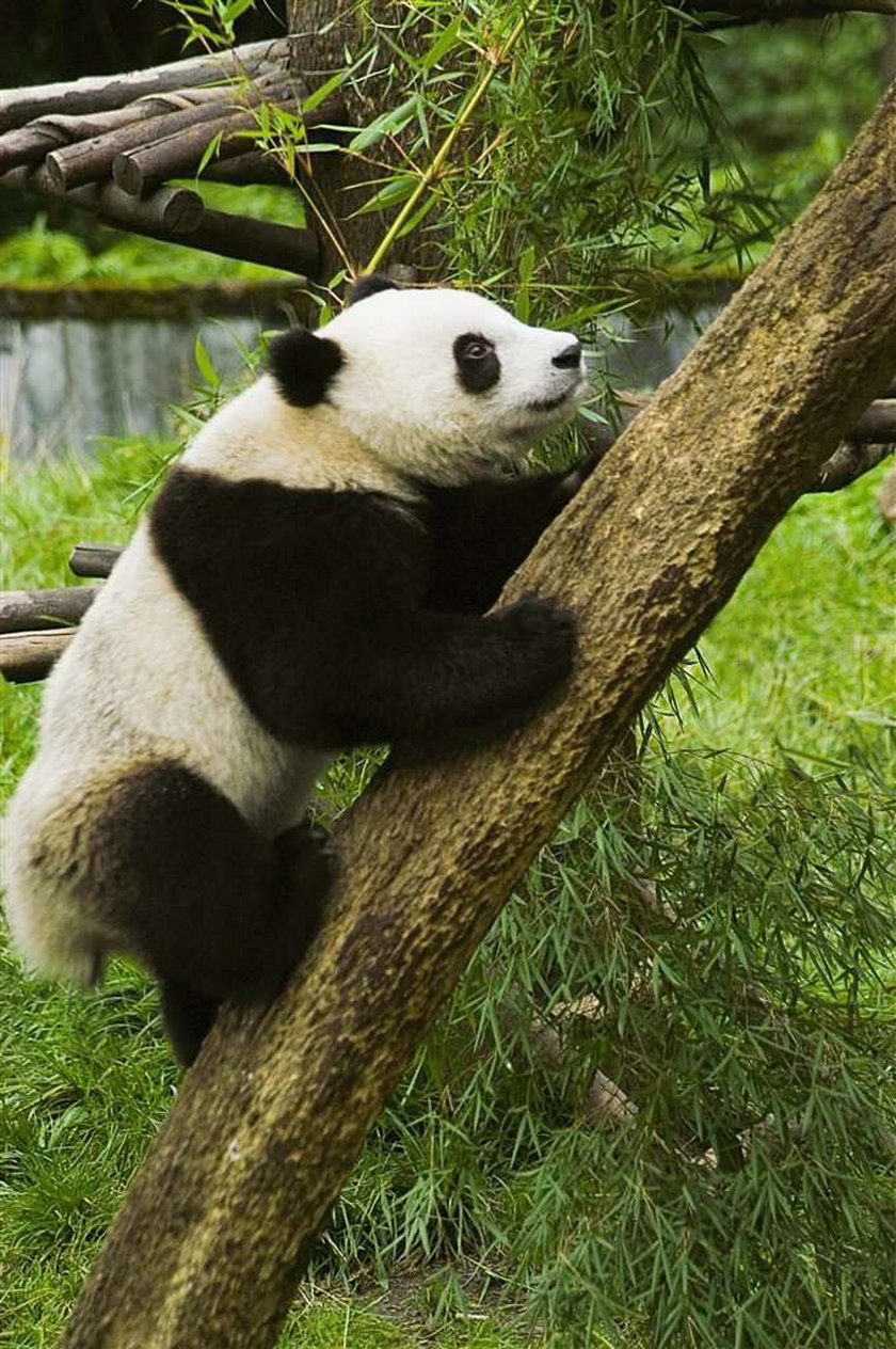 Zrobili pandę z cielaka!