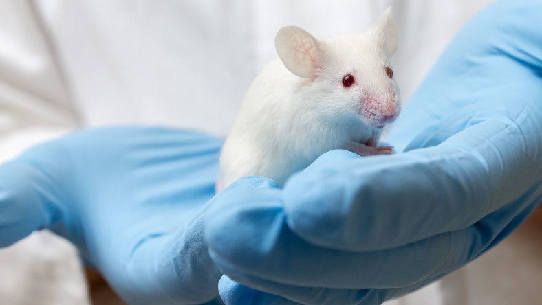 Mysz w laboratorium