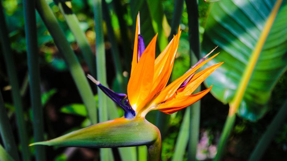 Strelicja królewska nazywana jest rajskim kwiatem lub rajskim ptakiem -  Dzmitry/stock.adobe.com