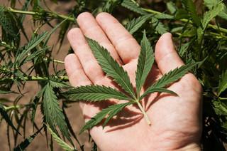 Rynkowe podchody wokół marihuany