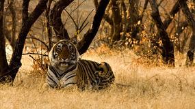 Tygrys zabił kobietę w parku safari