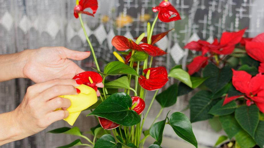 Anturium to dość wymagająca roślina -  zoommachine/stock.adobe.com