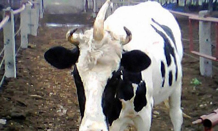Krowa z 3 rogami