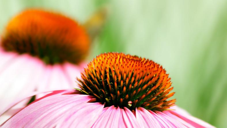 Naukowcy przekonują, że echinacea nie jest odpowiednia dla dzieci poniżej 12. roku życia