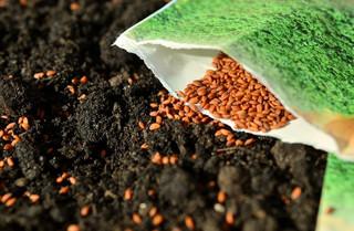 Nasiona Kujawskie -  kwalifikowany materiał  najwyższej jakości