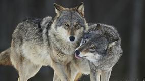 W Karkonoszach pojawiły się wilki