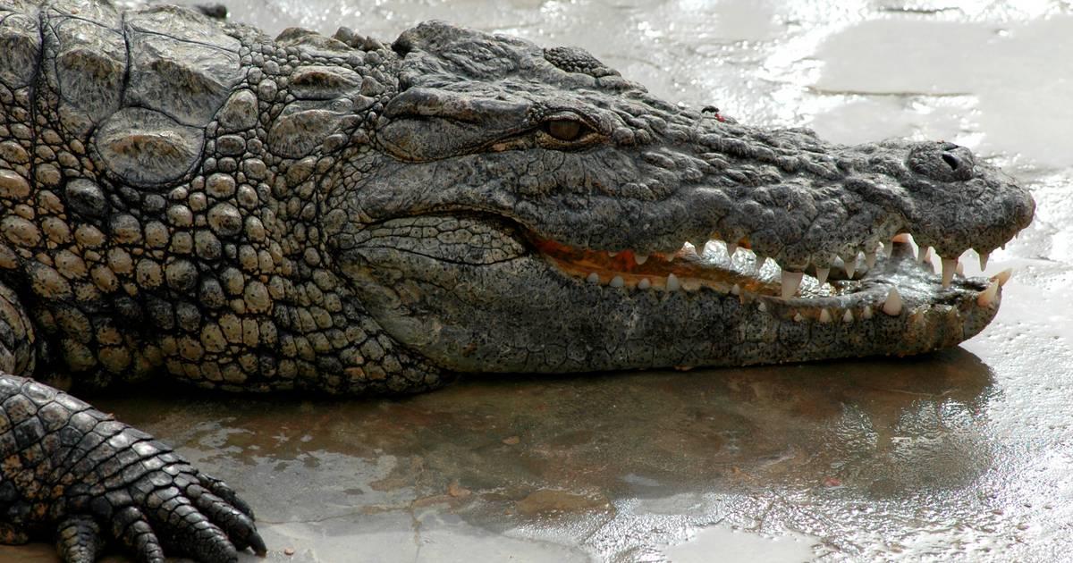 """""""Hitlers Alligator"""" gestorben: War er wirklich das Haustier des Diktators?"""
