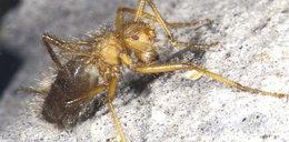 Najohydniejszy owad świata! ZOBACZ
