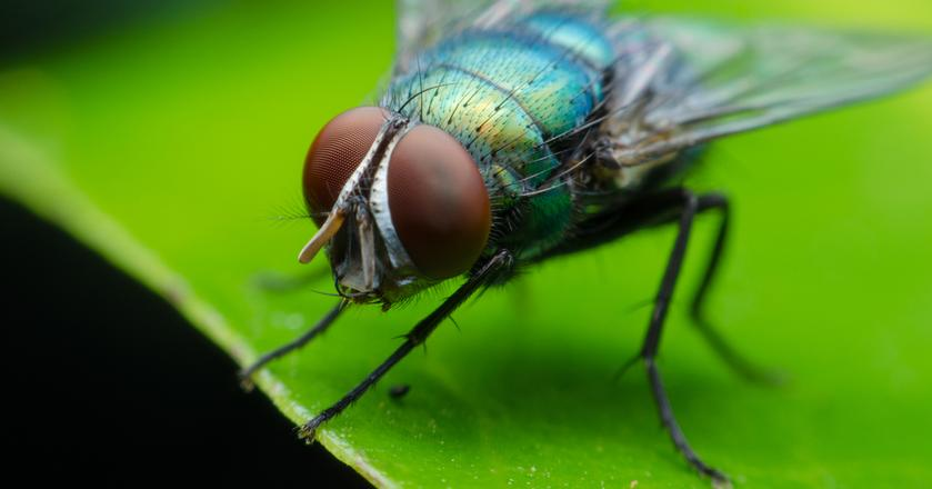 Dźwięk latającej muchy jest irytujący. Wykorzystują to syreny pojazdów ratowniczych
