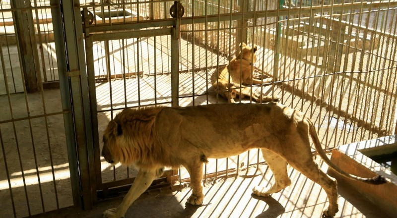 Foreign experts in Sudan to examine sick lions